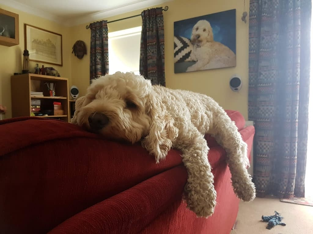 Our eldest Cockapoo, Monty flat out